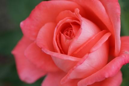 The Perfect Rose- 8x10 Fine Art Print