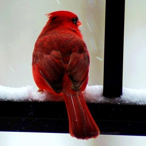 BOGO SALE Cardinal in the Snow